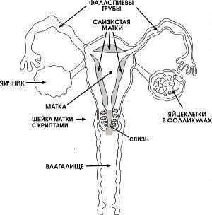 skolko-zhivut-spermatozoidi-na-chlene